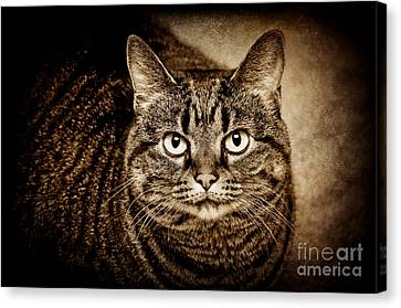 Serious Tabby Cat Canvas Print by Andee Design