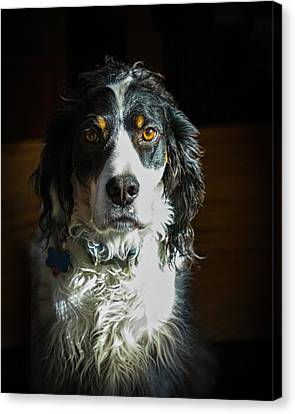 Setter In Contrast Canvas Print by Andrew Lawlor