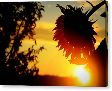 Canvas Print featuring the photograph Setting Sunflower by Aurelio Zucco