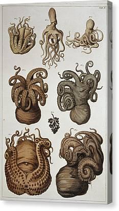 Seven Squid And Octopuses Canvas Print by Natural History Museum, London