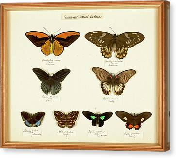 Sexual Dimorphism In Butterflies Canvas Print by Natural History Museum, London