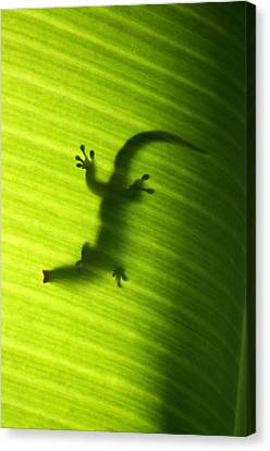 Feeding Canvas Print - Seychelles Small Day Gecko by Fabrizio Troiani