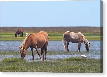 Wildlife Canvas Print - Shackleford Ponies 2014 15 by Cathy Lindsey
