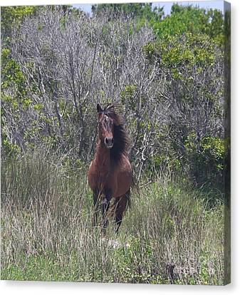 Shackleford Pony Canvas Print
