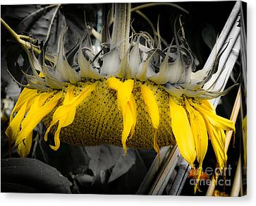 Shaded Sunflower Canvas Print