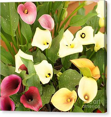 Shades Of Calla Lilies Canvas Print