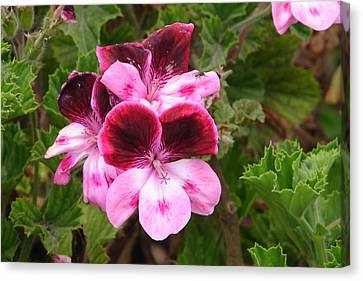 Canvas Print featuring the photograph Shades Of Pink by Lew Davis