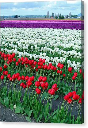 Shades Of Tulips Canvas Print by John Bushnell