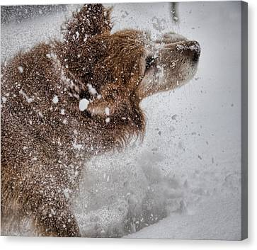 Shaking Off The Snow Canvas Print by John Crothers