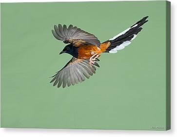 Shama Thrush In Flight Canvas Print