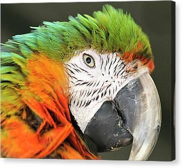 Shamrock Macaw, First Generation Hybrid Canvas Print by Matt Freedman