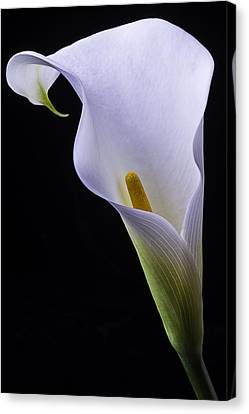 Shapely Calla Lily Canvas Print by Garry Gay