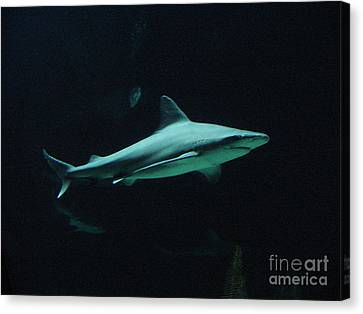 Shark-09451 Canvas Print by Gary Gingrich Galleries