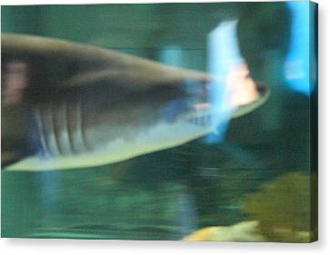 Shark - National Aquarium In Baltimore Md - 121211 Canvas Print by DC Photographer