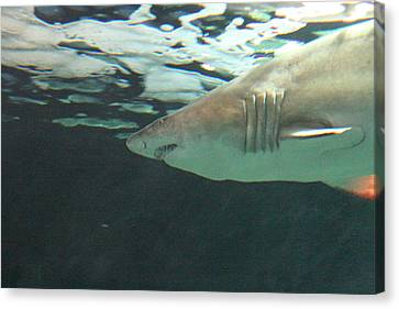Shark - National Aquarium In Baltimore Md - 121218 Canvas Print by DC Photographer