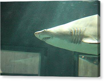 Shark - National Aquarium In Baltimore Md - 121219 Canvas Print by DC Photographer