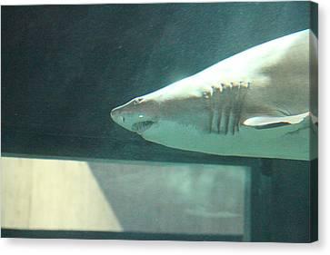 Shark - National Aquarium In Baltimore Md - 121220 Canvas Print