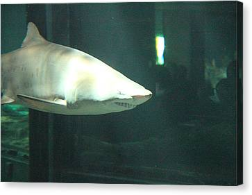 Maryland Canvas Print - Shark - National Aquarium In Baltimore Md - 12124 by DC Photographer
