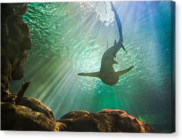 Shark Tank Canvas Print by Bill Pevlor