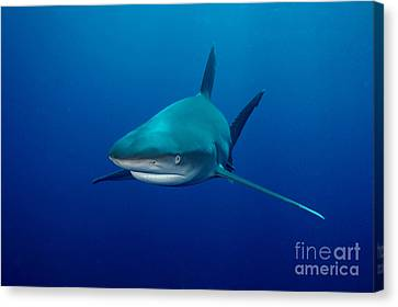 Sharks Canvas Print by Boon Mee