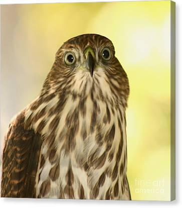 Sharp-shinned Hawk Canvas Print by Bob and Jan Shriner