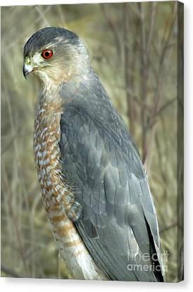 Sharp-shinned Hawk Canvas Print by Darleen Stry