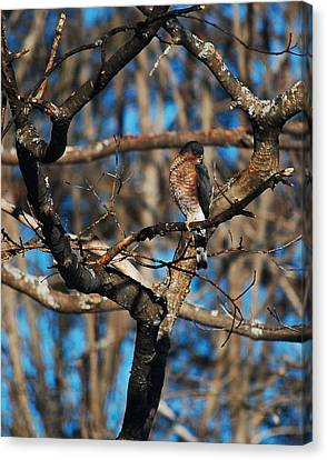 Sharp Shinned Hawk Canvas Print by Mim White