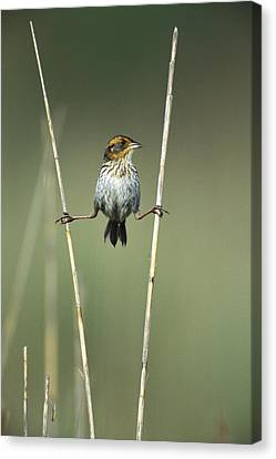 New Individuals Canvas Print - Sharp-tailed Sparrow On Reeds Long by Tom Vezo