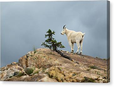 Winter Canvas Print - She Goat by David Andersen