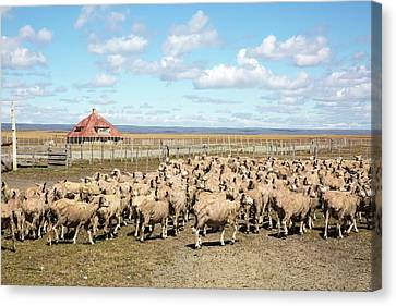 Sheared Sheep On A Patagonian Estancia Canvas Print by Peter J. Raymond