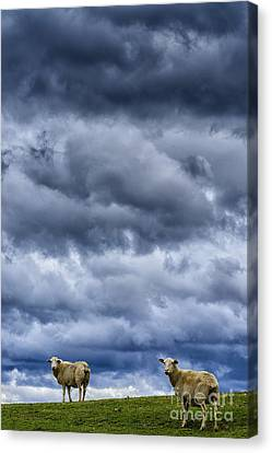 Sheep A Leaden Sky Canvas Print by Thomas R Fletcher