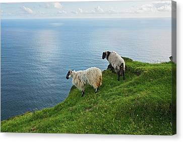 Sheep At Moyteoge Head Bei Dooagh Canvas Print