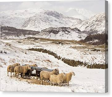 Sheep Brave The Extreme Weather Canvas Print by Ashley Cooper