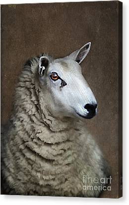 Sheep Canvas Print by Darren Fisher
