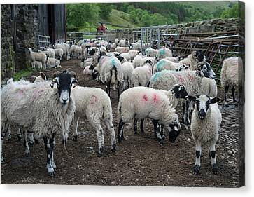 Sheep Farm Canvas Print by Robert Brook