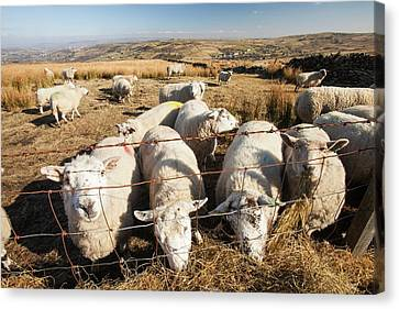Sheep Feeding On Hay On Ovenden Moor Canvas Print by Ashley Cooper