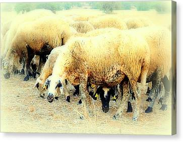 I Have This Incredible Sheep Feeling  Canvas Print by Hilde Widerberg