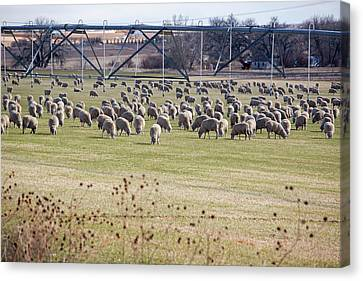 Sheep Grazing Under An Irrigation Boom Canvas Print