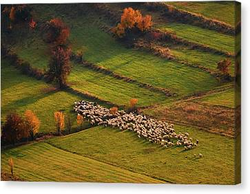 Sheep Herd At Sunset Canvas Print