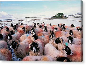 Sheep In Snow In The Lake District Uk Canvas Print by Ashley Cooper