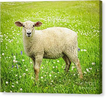 Sheep In Summer Meadow Canvas Print by Elena Elisseeva
