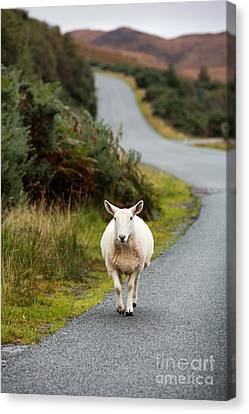 Sheep Canvas Print by Jane Rix