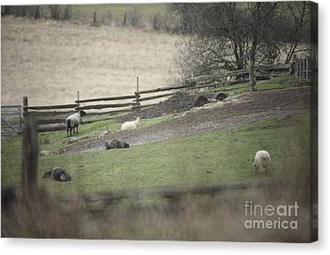 Sheep Life Canvas Print by Graham Foulkes