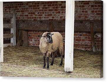 Sheep - Mt Vernon - 01132 Canvas Print by DC Photographer