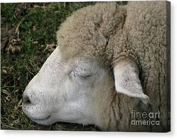 Sheep Sleep Canvas Print by Ann Horn