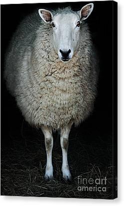 Sheep Canvas Print by Stephanie Frey