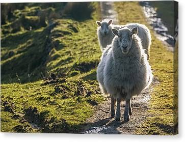 Sheep Walking On Path Ballinskelligs Canvas Print