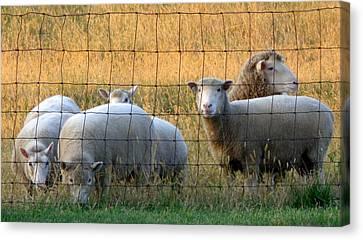 Amish Farms Canvas Print - Sheep With Golden Light by Joseph Skompski