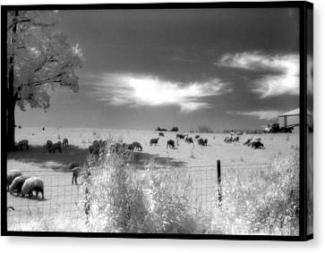 Sheep's In The Meadow Canvas Print by Greg Kopriva
