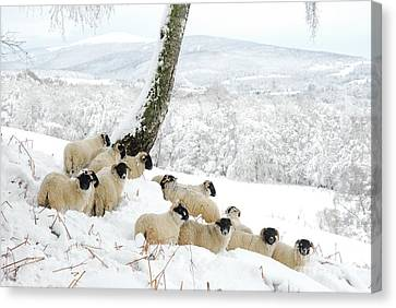 Sheltering Flock Canvas Print by John Kelly